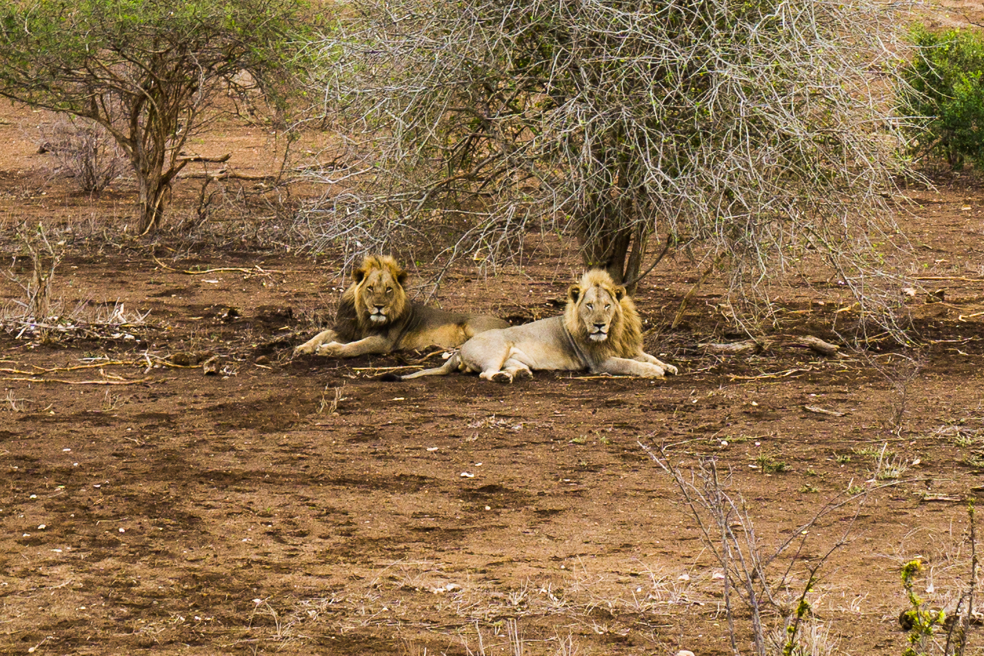 Lion Pals @ Kruger National Park.